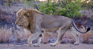 Leão no alvorecer Fotografia de Stock