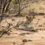 Leão no arbusto africano Fotos de Stock