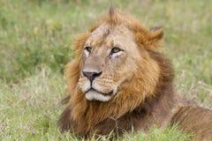 Leão no campo de kenya Fotografia de Stock Royalty Free