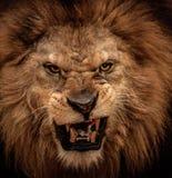 Leão no circo fotografia de stock royalty free
