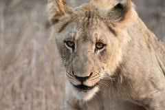 Leão no crepúsculo imagem de stock royalty free