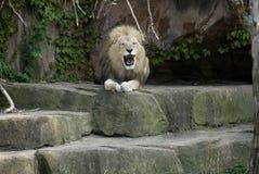 Leão no jardim zoológico Fotografia de Stock