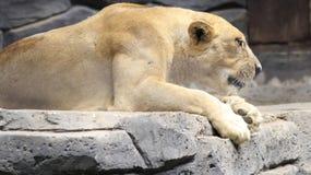 Leão no jardim zoológico Bandung Indonésia fotografia de stock
