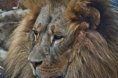 Leão no jardim zoológico Mane Animals Wildlife Roar imagem de stock royalty free