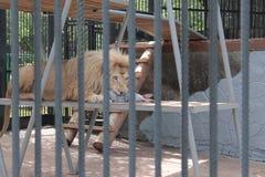 Leão no jardim zoológico que come um coelho Imagem de Stock Royalty Free