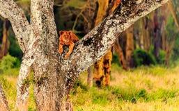 Leão no Masai Mara Fotografia de Stock