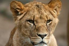 Leão no Masai Mara Kenya fotografia de stock royalty free
