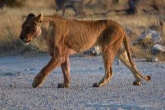 Leão no parque de Etosha Imagens de Stock