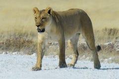 Leão no parque de Etosha Fotos de Stock Royalty Free