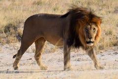 Leão no parque de Etosha Imagem de Stock Royalty Free