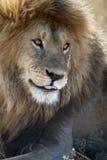 Leão no parque nacional de Serengeti, Tanzânia, África imagens de stock
