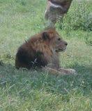 Leão no parque selvagem Natura Viva, Bussolengo, Itália imagens de stock