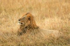 Leão no savana Fotos de Stock