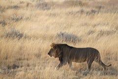 Leão no savana Fotos de Stock Royalty Free