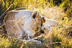Leão no selvagem no africano Leão - felines predadores imagem de stock
