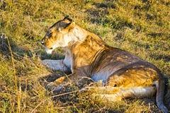Leão no selvagem no africano Leão - felines predadores fotografia de stock royalty free