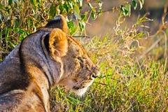 Leão no selvagem no africano Leão - felines predadores imagem de stock royalty free