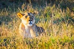 Leão no selvagem no africano Leão - felines predadores fotografia de stock