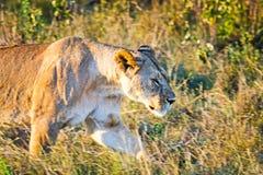 Leão no selvagem no africano Leão - felines predadores fotos de stock