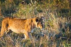Leão no selvagem no africano Leão - felines predadores foto de stock royalty free