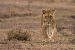 Leão novo Fotos de Stock Royalty Free