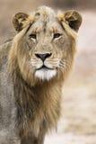 Leão novo Fotografia de Stock Royalty Free