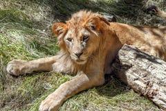 Leão novo animal que encontra-se na grama Imagem de Stock