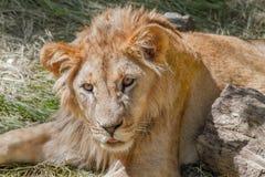 Leão novo animal que encontra-se na grama Imagens de Stock Royalty Free