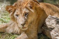 Leão novo animal que encontra-se na grama Fotos de Stock Royalty Free