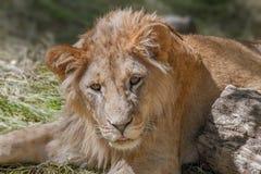 Leão novo animal que encontra-se na grama Fotografia de Stock Royalty Free
