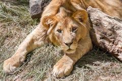 Leão novo animal que encontra-se na grama Fotos de Stock