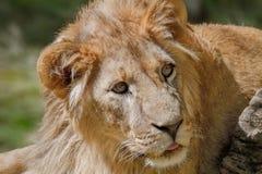Leão novo animal que encontra-se na grama Imagem de Stock Royalty Free
