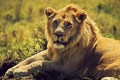 Leão novo do homem adulto no savanna. Safari em Serengeti, Tanzânia, África Fotografia de Stock Royalty Free