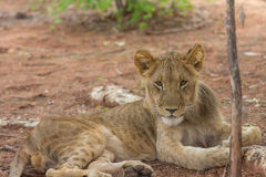 Leão novo em África Foto de Stock