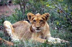 Leão novo no parque nacional de Kruger Imagens de Stock Royalty Free