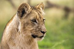 Leão novo no savana de África Imagem de Stock