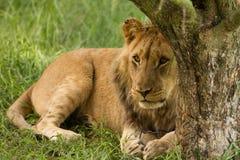Leão novo prendido toda acima Fotos de Stock Royalty Free