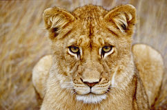 Leão novo que olha o Imagens de Stock