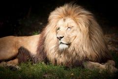 Leão o rei fotografia de stock