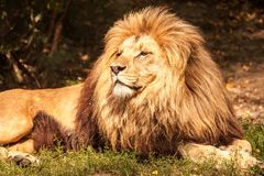 Leão o rei Imagem de Stock Royalty Free