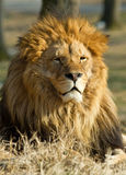 Leão o rei Foto de Stock
