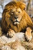 Leão o rei Imagens de Stock