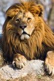 Leão o rei Fotos de Stock