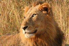 Leão olhar fixamente Imagens de Stock Royalty Free