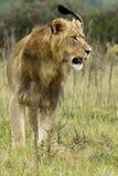 Leão olhar fixamente Foto de Stock Royalty Free
