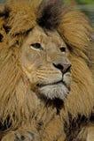 Leão orgulhoso Fotografia de Stock Royalty Free