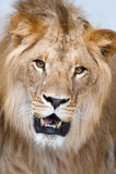 Leão - (Panthera leo) Fotografia de Stock