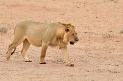 Leão (Panthera leo) Imagens de Stock Royalty Free