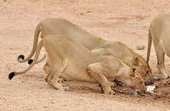 Leão (Panthera leo) Foto de Stock