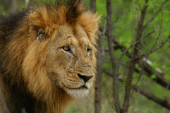 Leão (Panthera leo) Fotografia de Stock Royalty Free